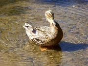 5th May 2018 - Duck in a Whirlpool!