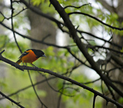5th May 2018 - Male Baltimore Oriole