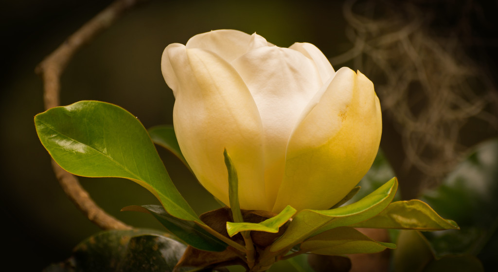 Magnolia Bloom! by rickster549