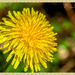 The Sun's Arrived And So Have The Dandelions by carolmw