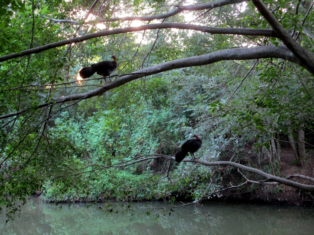Wild Bush Turkeys seeking protection in the trees hanging over the river by 777margo