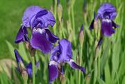 6th May 2018 - Purple Irises