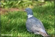 6th May 2018 - Woodpigeon