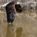 Bald Eagle  by radiogirl