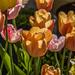 Orange Tulips. by tonygig