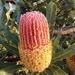 Beautiful Banksia by merrelyn
