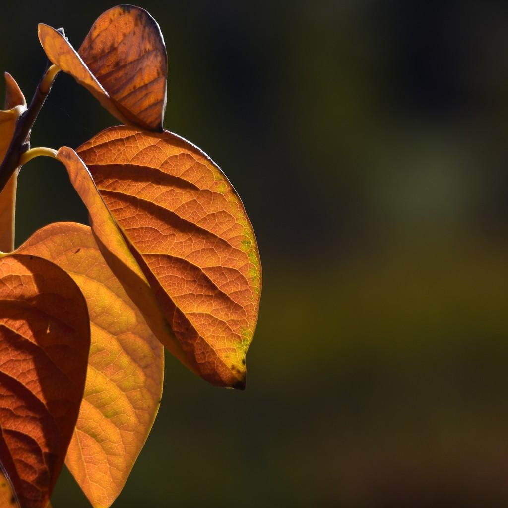 Autumn Leaves_DSC7588 by merrelyn