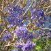 Purple Jacaranda  by stownsend