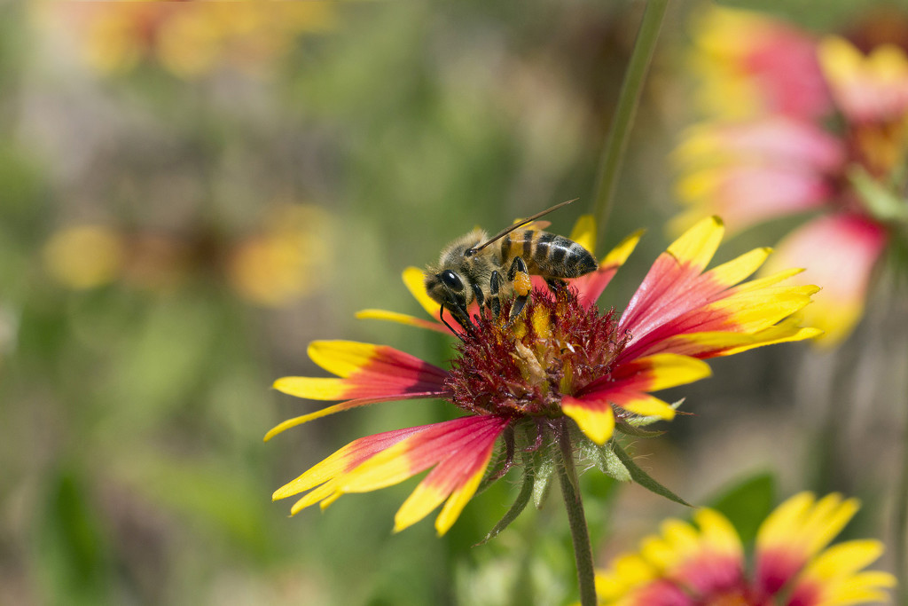 Busy Bee on Firewheel by gaylewood