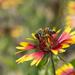 Busy Bee on Firewheel by gaylewood