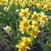 Daffys Finally Blooming by farmreporter