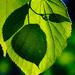 The leaf by haskar
