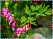 8th May 2018 - Bleeding Heart (Dicentra)