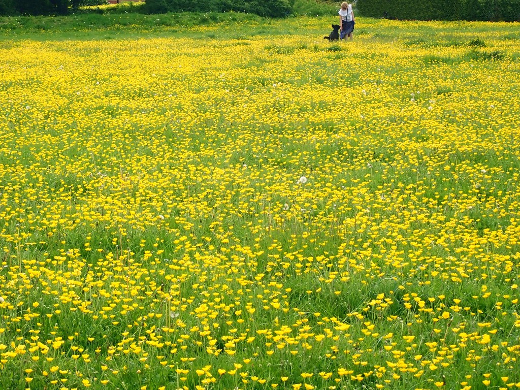 'Cause I'm going to Buttercup  Fields by bizziebeeme