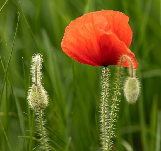 Poppy Time again by shepherdmanswife