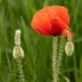 Poppy Time again