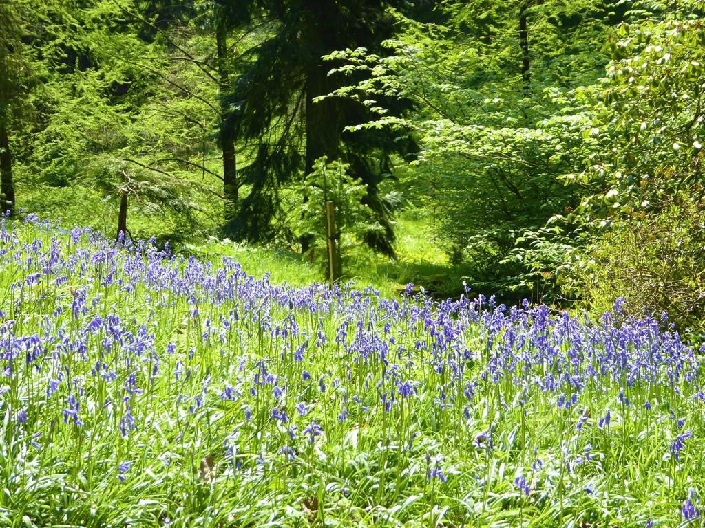 Bluebells at Hergest Croft  by susiemc
