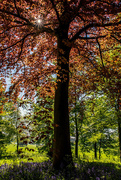8th May 2018 - Copper Beech