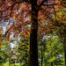 Copper Beech by rjb71
