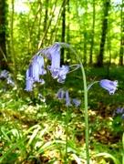 7th May 2018 - English Bluebells