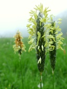 8th May 2018 - Meadow Foxtail