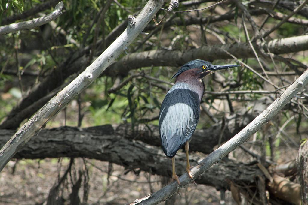 Green Heron by gaylewood