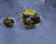 7th May 2018 - LHG_4417 Frog in the pond
