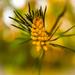 A pine by haskar