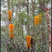 Like a Candelarbra, these Golden Candlesticks(Banksia Spinulosa) brighten up the forest