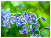 9th May 2018 - English Bluebells