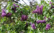 9th May 2018 - More lilacs