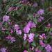 rhododendrum...