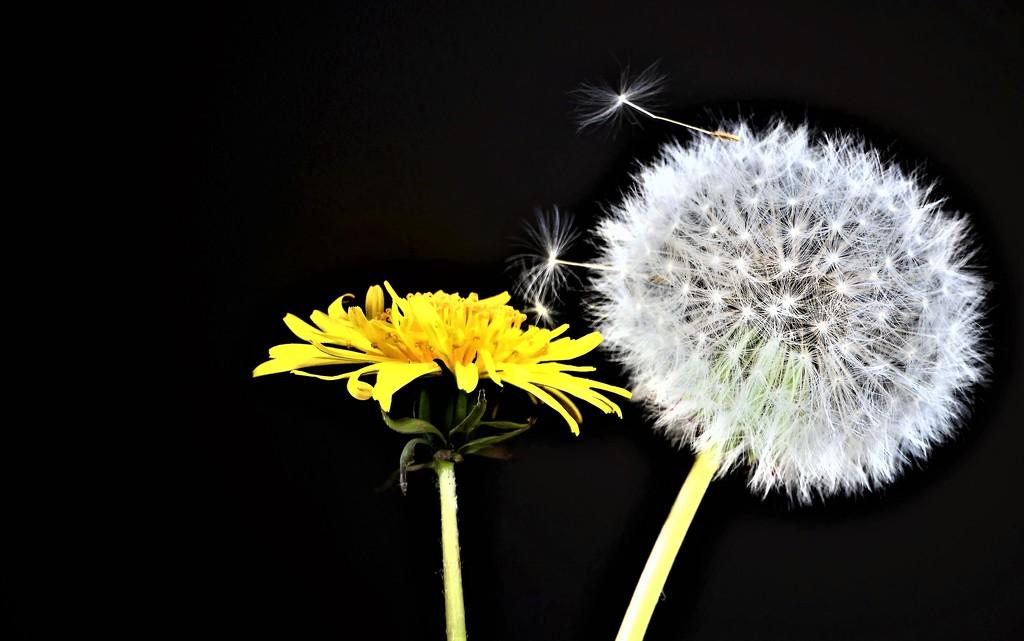 Life of a Dandelion by carole_sandford