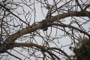 21st Apr 2018 - Brown Creeper In Camoflage