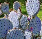 5th May 2018 - Blue Cactus