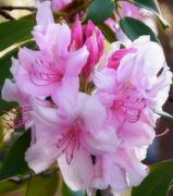 8th May 2018 - Rhododendron