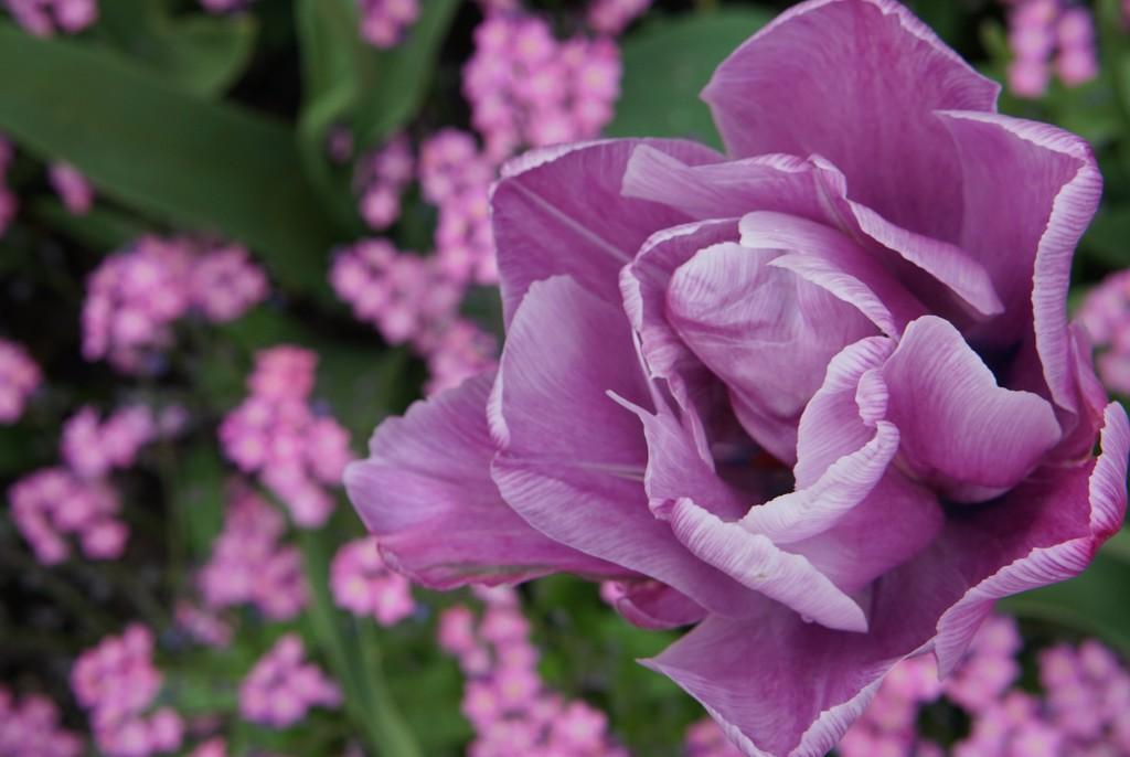 pink and mauve by quietpurplehaze