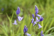 8th May 2018 - Bluebell