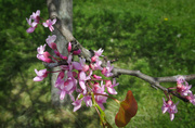 10th May 2018 - Redbud tree blossoms