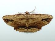 9th May 2018 - Waved Umber moth - Menophra abruptaria