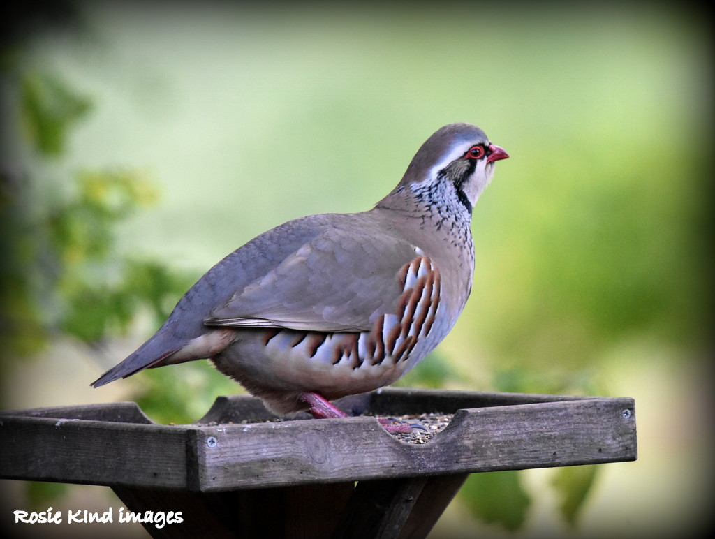 You don't expect to see one of these on your bird table by rosiekind