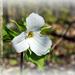 Ontario's Flower - Trillium