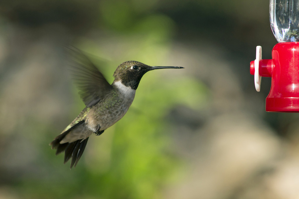 Male Hovering Hummer by gaylewood
