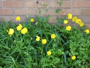 11th May 2018 - Welsh poppies