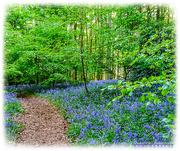 11th May 2018 - Pathway Through The Bluebells