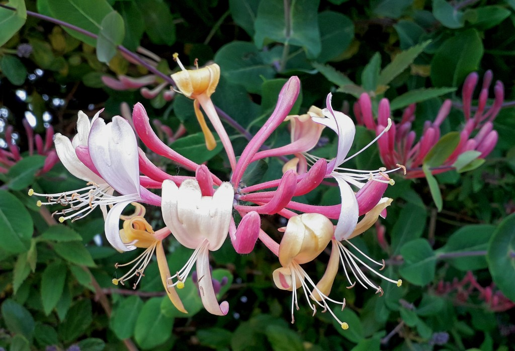 Honeysuckle by mave