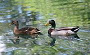 11th May 2018 - M R Ducks