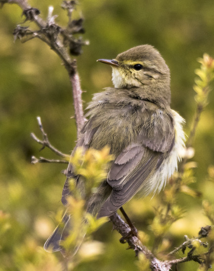 Warbler by shepherdmanswife
