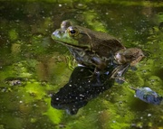 11th May 2018 - LHG_4466 Bullfrog
