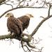 Eagles at Bombay Hook